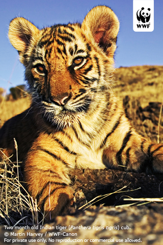 wallpaper tiger cub. Tiger cub Wallpaper