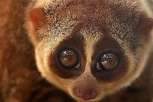 Poisonous Nocturnal Monkey Found In Borneo Wwf