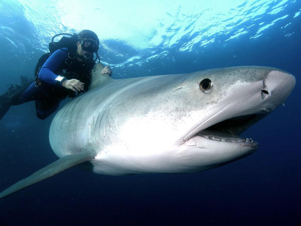 Biggest Tiger SharkBiggest Tiger Shark In The World