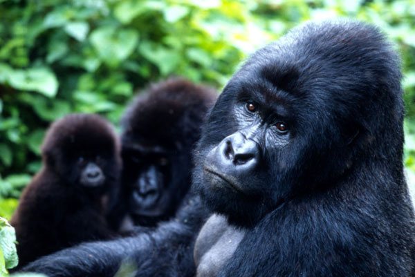 Mountain gorillas, Virunga National Park, Democratic Republic of Congo
