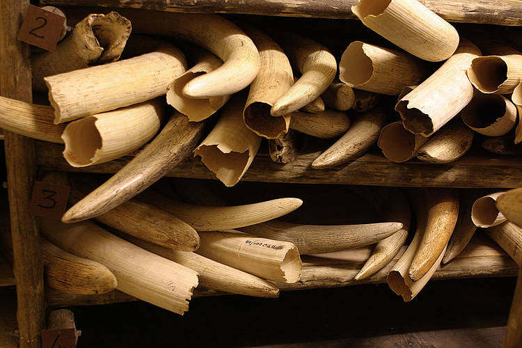Updated ivory identification tool helps to combat illegal wildlife trade