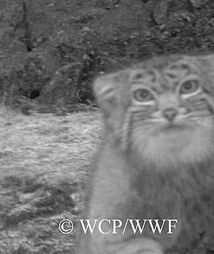 Near threatened Pallas' Cat found in WCP