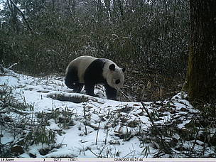 Photos offer rare glimpse into panda habitat