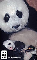 Giant female panda named n°8 with her 1 month old baby. Wolong Nature Reserve, China.