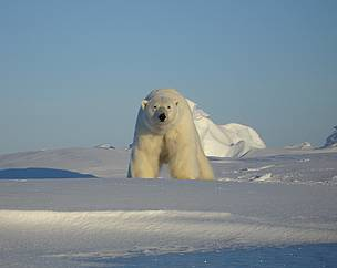 Polar bears in the southern Beaufort Sea are showing signs of vulnerability, such as diminished size, which researchers suspect is climate related.