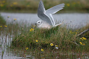Ross's gull (Rhodostethia rosea), endemic to the Arctic