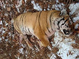 Tiger killer given strong punishment