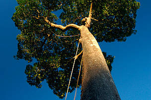 Climbing ropes hanging from a Brazil Nut tree (Bertholletia excelsa), Juruena National Park, Brazil.