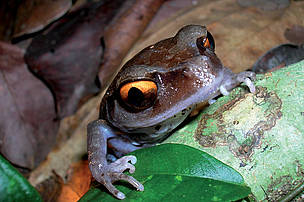Smith's litter frog (Leptobrachium smithi), identified in 1999, one of 5 new frog discoveries in the Indian state of Assam.