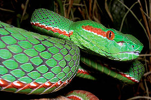 A male Gumprecht's green pitviper (Trimeresurus gumprechti). Officially discovered in 2002, Gumprecht's green pitviper is venomous and capable of growing to 130cm in length. Scientists predict that larger specimens exist.