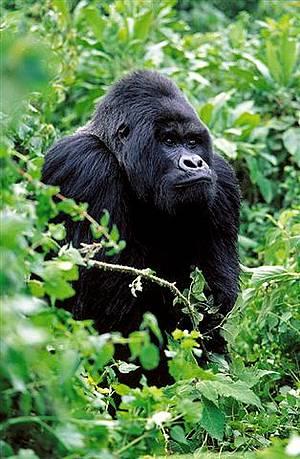 在維龍加(Virunga)國家公園内的山地大猩猩。圖片來自:WWF。