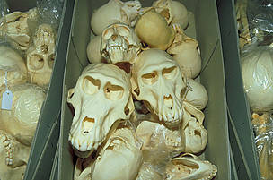 Skulls of Great apes seized at customs.