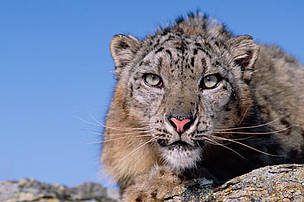 Climate change could push snow leopards over the edge