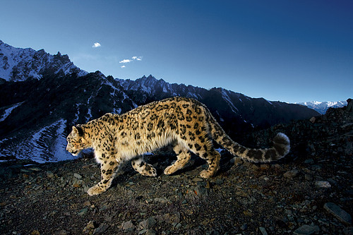 The snow leopard (Panthera uncia) is native to the mountain ranges of South and Central Asia and an indicator species for climate change. Snow leopards live between 3,000 and 5,500 metres above sea level. Their secretive nature means that their exact numbers are unknown, but it has been estimated that about 358 snow leopards reside in Nepal's Himalayas. It is listed as an Endangered species in ...