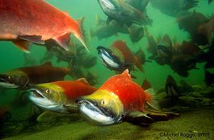 Massive decline in migratory fish threatens livelihoods of hundreds of millions