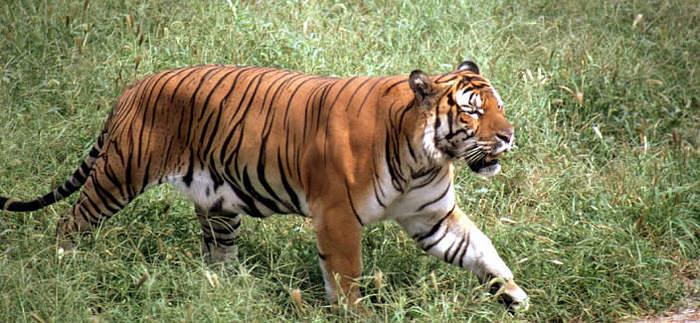 華南虎,圖片來源WWF網站