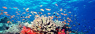 Fiji is famous throughout the world for spectacularly rich and vibrant soft coral reefs. Fed by ...  © WWF / Cat HOLLOWAY