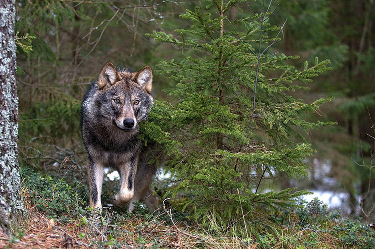 Everything You Ever Wanted to Know About Wolves