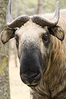 Bhutanese Takin finding refuge in a WWF funded nature reserve