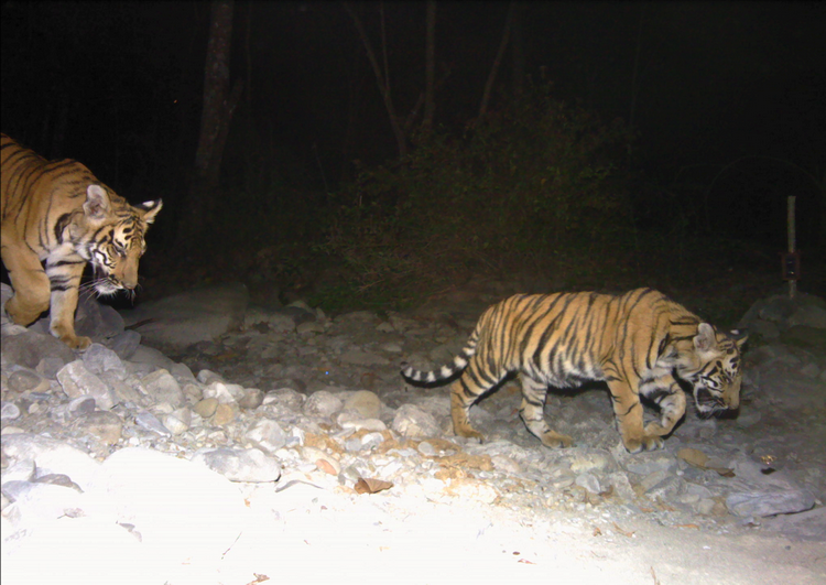Doubling of Tigers in Royal Manas National Park