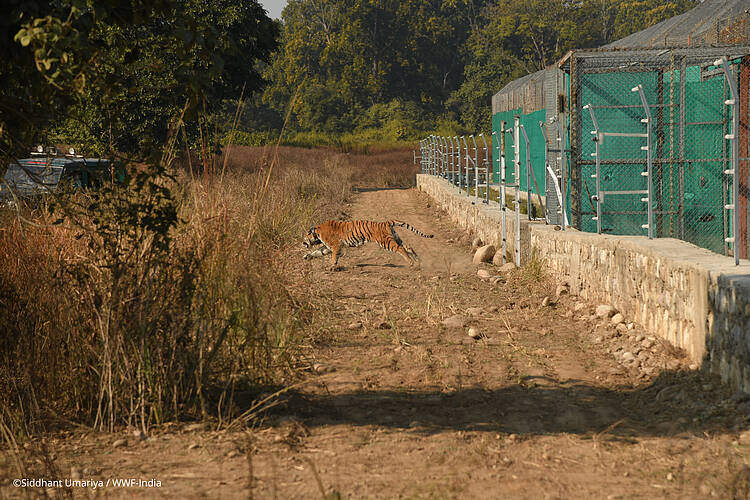 Translocation of tigers a milestone in repopulating India's Rajaji Tiger Reserve