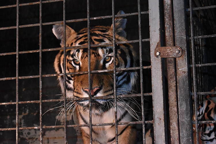 EU's 'unlikely' role in global tiger trade revealed in new WWF, TRAFFIC report