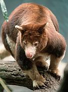 Matschie's tree kangaroo, one of Papua New Guinea's unique wildlife species.