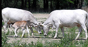 One of the calves born in spring 2007 on Tataru Island in the Ukrainian Danube Delta. The Ukrainian grey cattle are part of a WWF pilot project for diversifying habitats and incomes of local people.