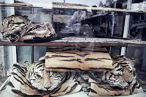 虎皮和其他罕見貓科動物在越南胡志市公開展售。圖片來自:WWF。
