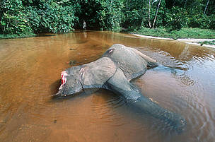 Forest Elephant killed by poachers for tusks. Dzanga-Ndoki National Park, Central African Replublic (CAR).
