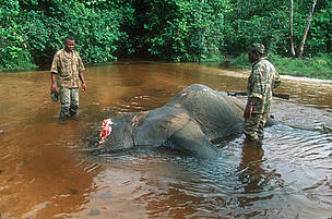 Field reports indicate slaughter of elephants, conservation staff evacuated