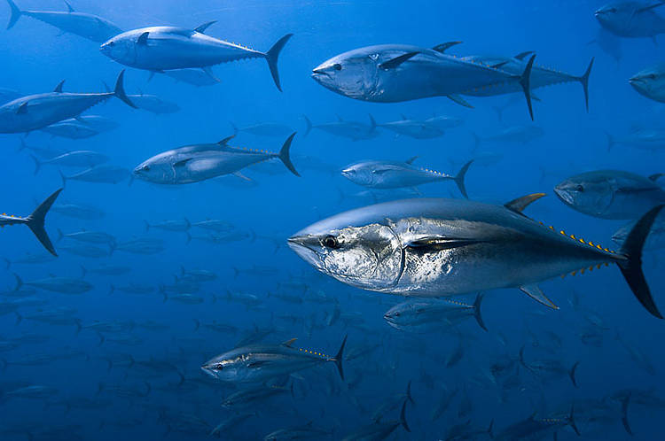 WWF calls out MSC for proposed certification of bluefin tuna