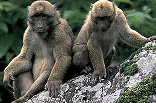 Arunachal macaque (Macaca munzala). Described as a new species in 2005, the relatively large brown primate with a short tail was a significant discovery as, at the time, it represented the first new monkey species identified anywhere in the world in over a century. It is stocky in build and has a darker face than other closely related species. It is the highest-dwelling macaque in the world, occurring between 1,600m and 3,500m about sea level.