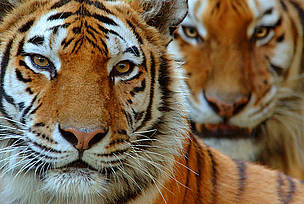Global Tiger Day - spare a thought for tiger prey too!