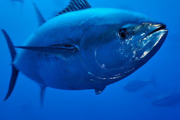 MSC certification of bluefin tuna fishery before stocks have recovered sets dangerous precedent