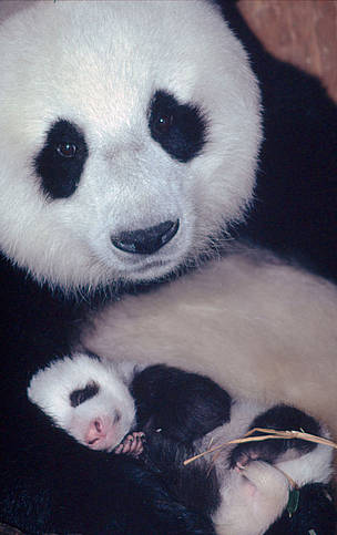 Sichuan Province young offspring newborn mom female panda