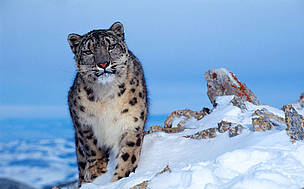 Nepal announces new ambitious action plan to help secure future for its snow leopards