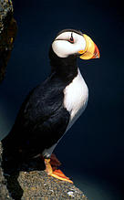 The horned puffin is one of many bird species found throughout the Arctic region.