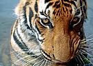Indochinese tiger (Panthera tigris corbetti) is only found in the Greater Mekong region of Southeast Asia, including Cambodia, Myanmar, Laos, Thailand and Vietnam.