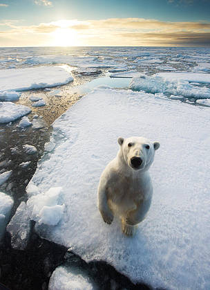 Polar bear (Ursus maritimus) standing on ice floe, looking at camera. Svalbard, Norway. August.