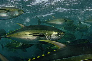 Yellowfin Tuna (Thunnus albacares)