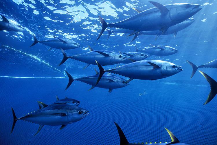 yellowfin_tuna__pacific_ocean_mexico_279