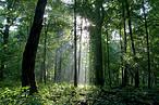 Bialowieza, one of Europe's last virgin forests ©Tomasz Wilk