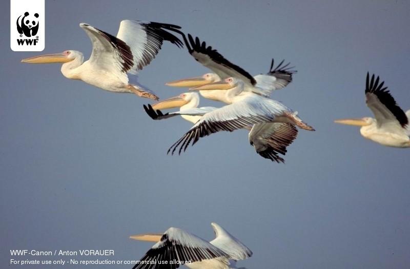WWF-Canon / Anton VORAUER